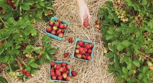 Producent truskawek w Szwecji: Nie walczymy o klienta ceną, stawiamy na smak i jakość