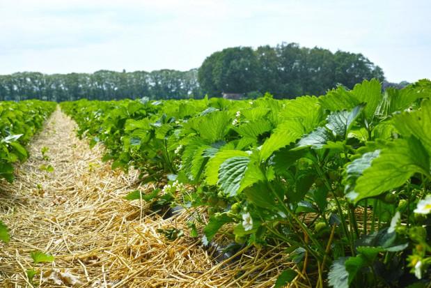 Jak uniknąć problemów z przędziorkiem w uprawie truskawek?