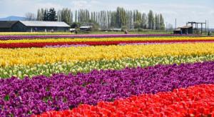 Niderlandzkie ogrodnictwo ponosi wielkie straty przez koronawirusa