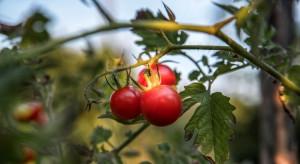 Nowy sprawca plamistości liści pomidora