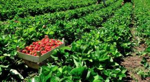Francja: Granice zamknięte, brakuje rąk do pracy przy zbiorach owoców