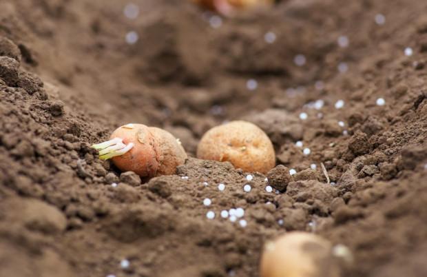 Lista Odmian Zalecanych ziemniaka na rok 2020