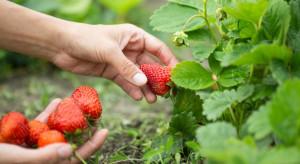 Francja: Przez epidemię nie ma komu zbierać truskawek