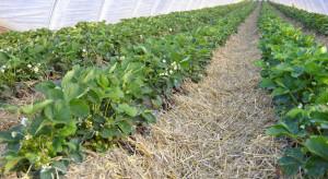 Nowe rozwiązanie w strategii przeciwdziałania odporności Botrytis cinerea w truskawce