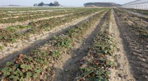 Wiosenne nawożenie posypowe truskawek