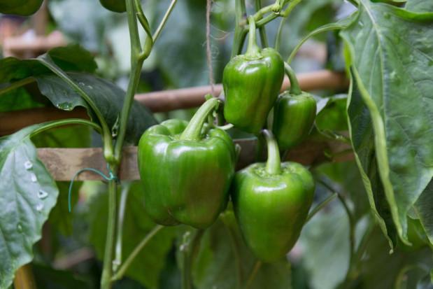 Groźny szkodnik ziemniaka, pomidora i papryki