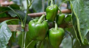 PIORiN: Nowy groźny szkodnik ziemniaka, pomidora i papryki