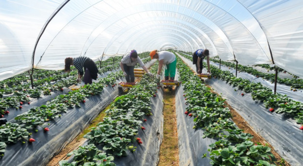 Producenci rolni: Bez pracowników branża sobie nie poradzi
