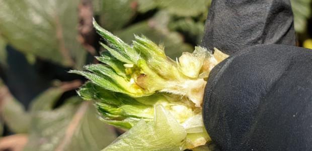 Biostymulacja truskawki po fali przymrozków (zdjęcia)