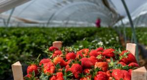 Hiszpania: Rząd wprowadził ułatwienia dla imigrantów w pracy w rolnictwie