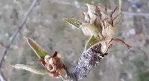 Miodówka gruszowa – ochrona z wykorzystaniem glinki kaolinowej