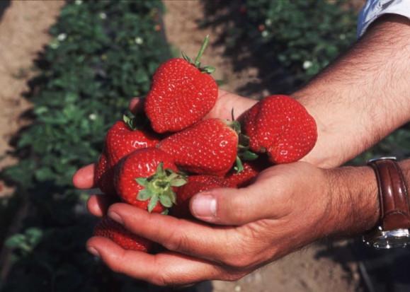 Producenci truskawek martwią się o tegoroczne zbiory