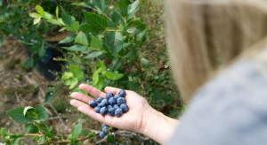 Przetwórcy owoców i warzyw: Zagraniczni pracownicy sezonowi są niezbędni