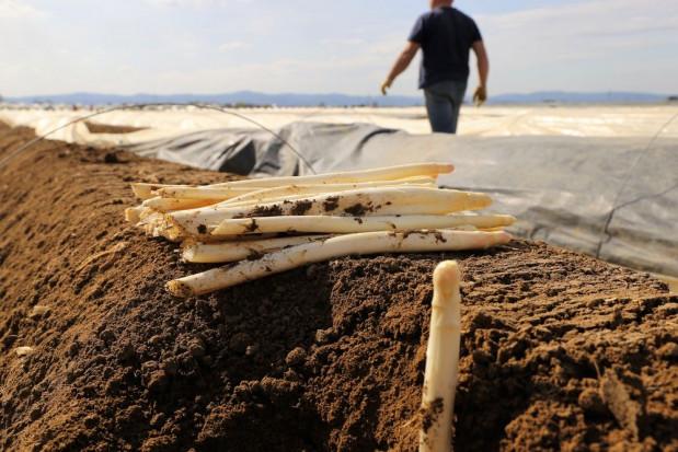 Pierwsze polskie szparagi trafiają na rynek