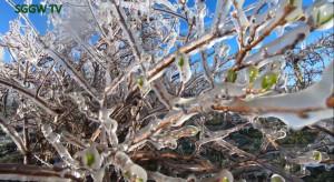 Marcowe przymrozki dotknęły MiniKiwi. Plantatorzy chronią swoje plantacje (wideo)