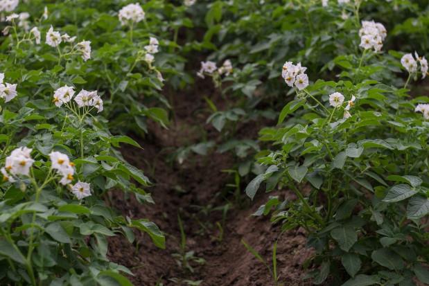 IOR-PIB: Szkodliwość zarazy ziemniaka i stonki ziemniaczanej w sezonie 2019