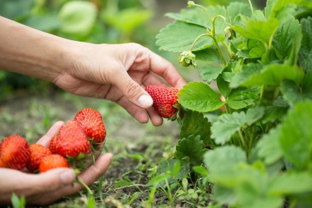 Bez sezonowych pracowników ze Wschodu ogrodnicy sami nie zbiorą plonów
