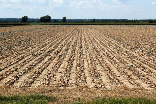 W czwartek kolejna transza wypłat dla mniejszych gospodarstw poszkodowanych przez suszę