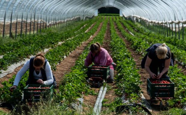 PIE:  W najbliższym czasie w UE zabraknie ok. 40-50 proc. pracowników sezonowych