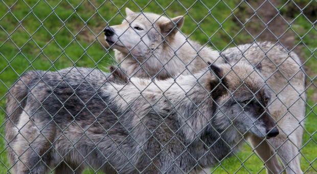Podlaskie: RDOŚ i  WWF przekażą rolnikom elektryczne ogrodzenia do ochrony zwierząt przed wilkami