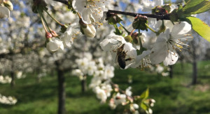 Izrael: Trwają testy maszyny do zapylania kwiatów w sadach migdałowych