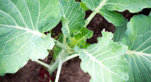Niedobory wilgoci w glebie niekorzystnie wpływają na rozwój roślin warzywnych