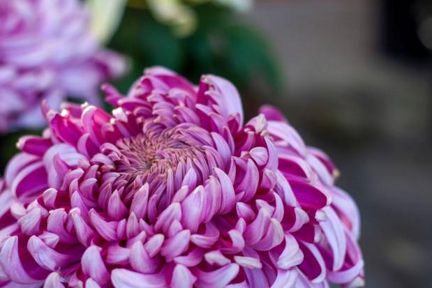 Wykrycie wiroida Chrysanthemum stunt viroid (CSVd) w chryzantemie wielokwiatowej