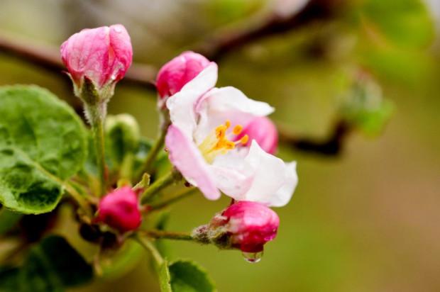 Jak wspomóc kwitnienie i zawiązywanie owoców?
