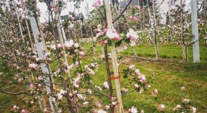 Fungicydy z grupy SDHI w walce z parchem i mączniakiem w okresie kwitnienia