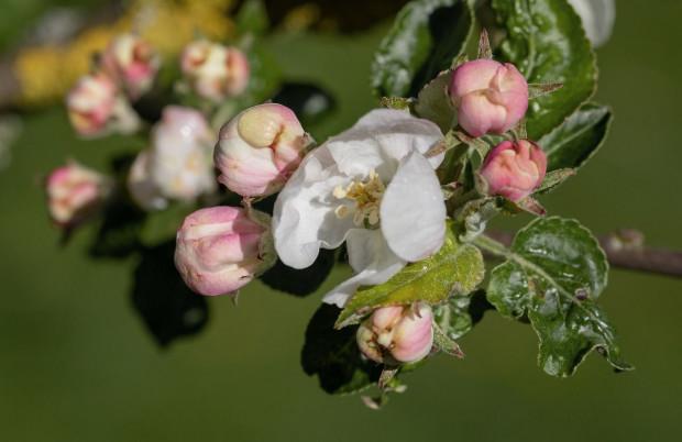 Bezdeszczowy kwiecień sprzyjał infekcjom mączniaka jabłoni