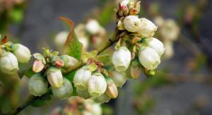 Kwitnienie borówek – czas ochrony przed szarą pleśnią i antraknozą