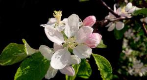Parch jabłoni – uwaga na duże zagrożenie