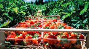 Kaszubskie truskawki – zbiory mogą być opóźnione z powodu przymrozków i suszy
