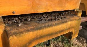 Mazowieckie: policjanci wyjaśniają przyczynę śmierci 2 mln pszczół