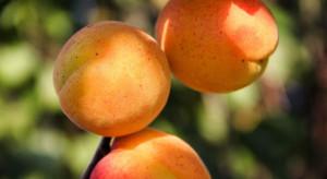 Węgry: Mniej moreli i brzoskwiń w tym roku