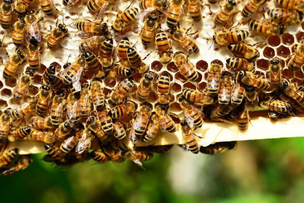 Lubelskie: Policja zatrzymała podejrzanego o otrucie 60 pszczelich rodzin