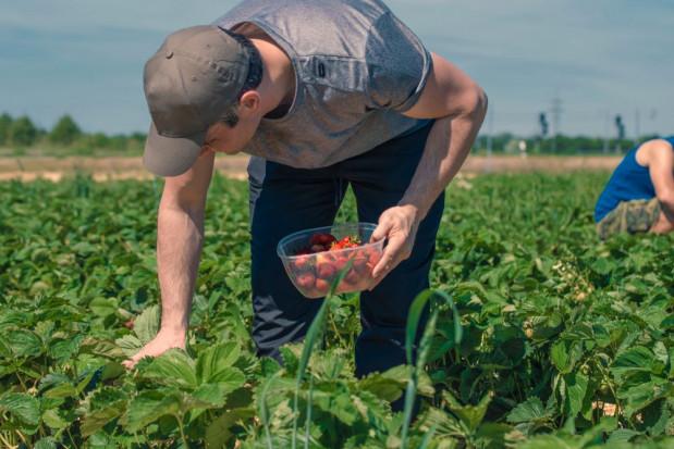 Cieszyński: zasady dot. pracowników sezonowych uzgodniono z producentami owoców