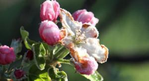 Sandomierz: szacowanie strat w uprawach w wyniku przymrozków