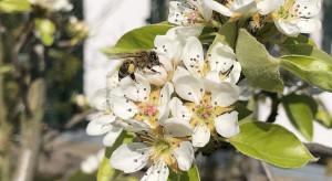 Jak krajobraz wpływa na rozprzestrzenianie się chorób pszczół?