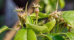 Zwalczanie miodówek w sadach po kwitnieniu