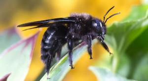 Ocieplanie klimatu sprawia, że owady coraz liczniej docierają do Polski