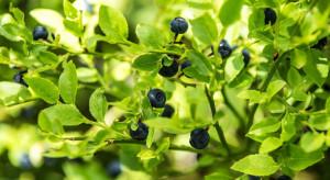 EFI: w lasach Europy zbieramy grzyby i jagody warte ok. 23,3 mld euro rocznie