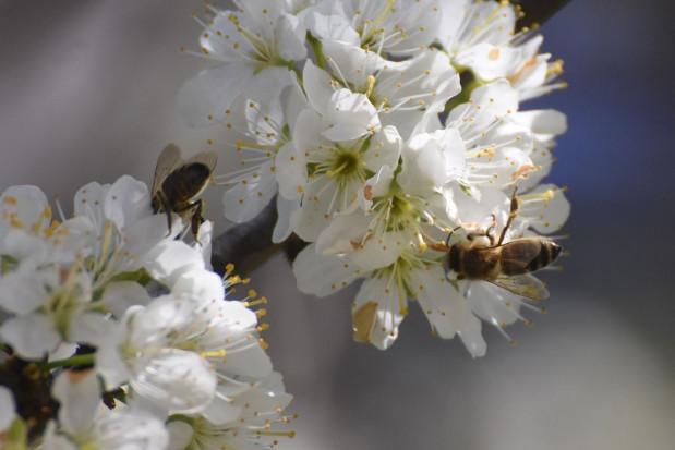 PSOR pokazuje, jak mądrze i odpowiedzialnie pomagać owadom zapylającym