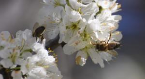 Bioróżnorodność wspiera plony. Rolniku - zadbaj o owady zapylające!