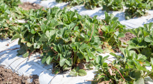 Plantacja truskawek pod sprawdzoną ochroną (zdjęcia)