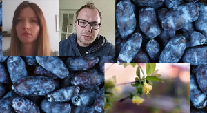 Susza, przymrozki, koronawirus – jak radzą sobie plantatorzy jagody kamczackiej? (wideo)