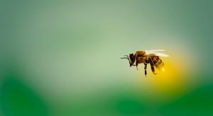 Sztuczna inteligencja pozwoli uratować pszczoły