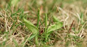 Podkarpackie: Na leśnej łące odkryto rzadką paproć