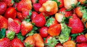 Sezon truskawkowy rozkręca się powoli. Ile zapłacimy za owoce?