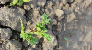 Na plantacje ziemniaka nalatują chrząszcze stonki ziemniaczanej